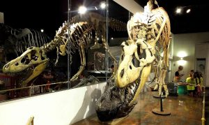 The Museum of Natural History's dinosaur exhibits are hugely popular with visitors. Photo by Kathy Neenan.